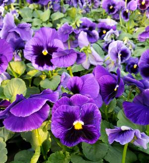 Looking For Spring Greenery On Sunny >> Pansy Viola wittrockiana Colossus 'Deep Blue with Blotch' Pansy from Sedan Floral