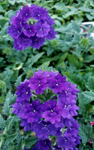 Verbena Hybrida Lanai Blue Denim Verbena From Sedan Floral