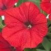 Petunia hybrida Success 'Red'