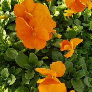 Pansy Viola wittrockiana Matrix 'Deep Orange'