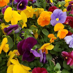 Pansy Viola wittrockiana Matrix 'Jewels Mix'