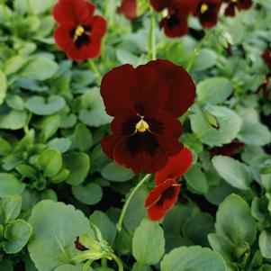 Viola cornuta Penny 'Red Blotch'