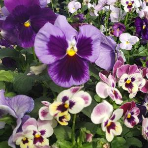 Pansy Viola wittrockiana 'Georgias Favorite Mix'