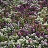Alyssum Easter Bonnet Easter Basket 'Mix'