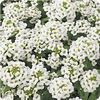 Alyssum Easter Bonnet 'White'