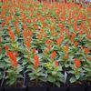 Celosia plumosa Look 'Fresh Look Orange'