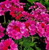 Verbena Lanai 'Upright Bright Rose'