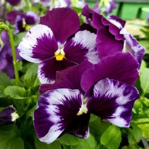 Pansy Viola wittrockiana Colossus 'Neon Violet'