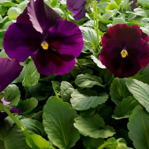 Pansy Viola wittrockiana Colossus 'Purple Blotch'