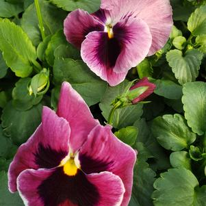 Pansy Viola wittrockiana Colossus 'Rose with Blotch'