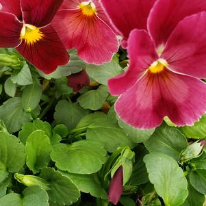 Pansy Viola wittrockiana Delta 'Pure Rose'
