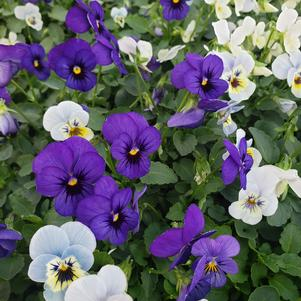 Viola cornuta Sorbet 'Sorbet Cool Water Mix'