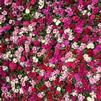 Dianthus interspecific Ideal Select 'Mix'