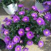 Aster Magic 'Purple'