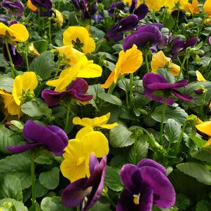 Pansy Viola wittrockiana Matrix 'Harvest Mix'