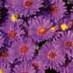 Aster Believer 'Purple'