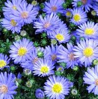 Aster 'Days'