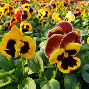 Pansy Viola wittrockiana Colossus 'Fire'