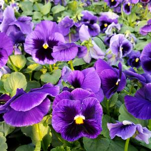 Pansy Viola wittrockiana Colossus 'Deep Blue with Blotch'