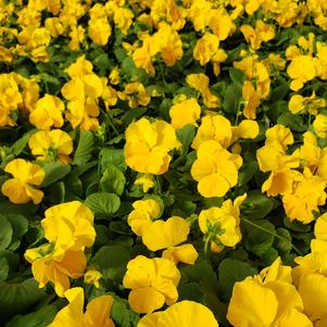Pansy Viola wittrockiana Colossus 'Yellow'