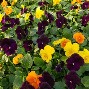 Viola cornuta Sorbet 'Harvest Mix XP'