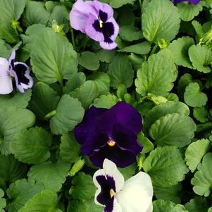 Pansy Viola wittrockiana Matrix 'Ocean Breeze Mix'