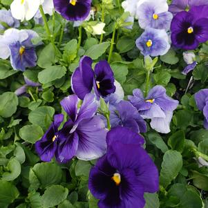 Pansy Viola wittrockiana Delta 'Premium Cool Water Mix'