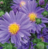 Aster Dragon 'Blue'