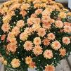Chrysanthemum Jacqueline 'Orange Fusion'