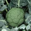 Vegetable Broccoli 'Destiny'