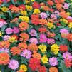 Zinnia elegans Short Stuff 'Mix'