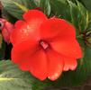 Impatiens hybrida hort Sunpatiens Spreading 'Tropical Orange'