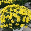 Chrysanthemum Jacqueline 'Yellow'