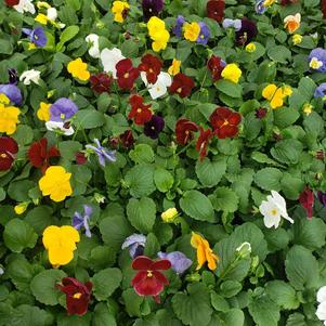Pansy Viola wittrockiana Crown 'Clear Mix'