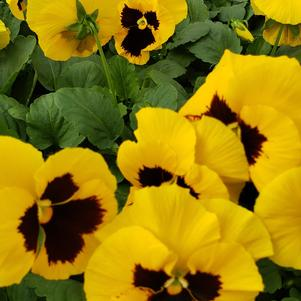 Pansy Viola wittrockiana Colossus 'Yellow with Blotch'