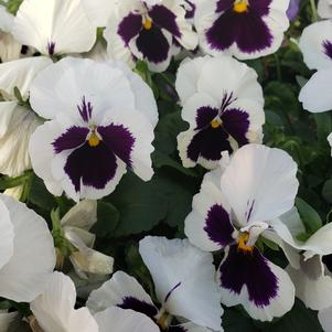 Pansy Viola wittrockiana Colossus 'White with Blotch'