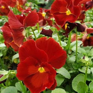 Pansy Viola wittrockiana Delta 'Pure Red'